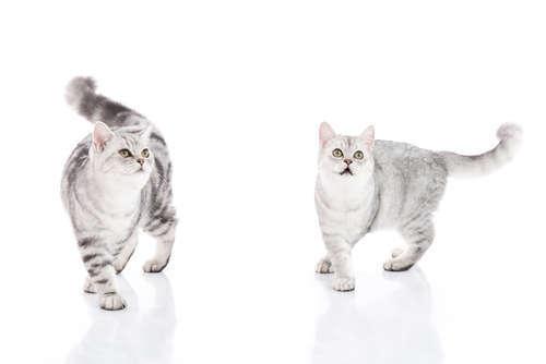 ブリーダーから猫を迎える方法と、その際の注意点について