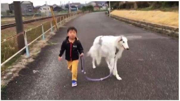 【一緒にトコトコ♡】男の子の歩くペースに合わせて、お散歩するボルゾイ。その優しさに… ほっこり♪