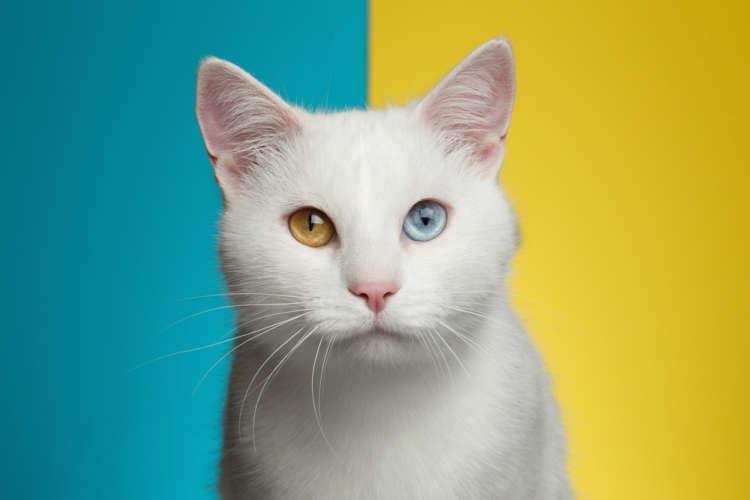 左右で目の色が違うオッドアイの猫。 オッドアイの原因って?