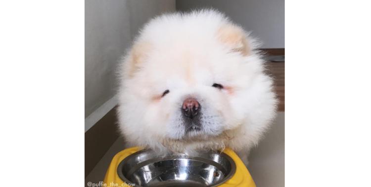 【究極のゆるふわ♪】かわいすぎるチャウチャウの子犬。その姿に心を溶かされる…(*´ω`*) 8枚