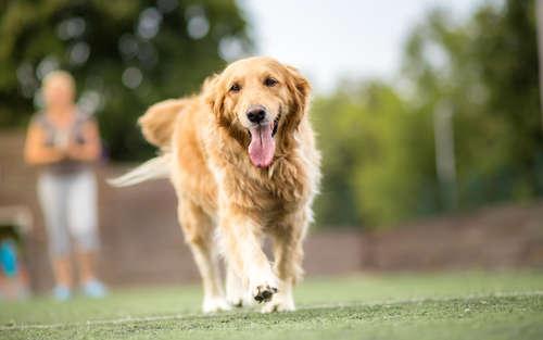 ゴールデン・レトリーバーってどんな犬? 歴史やカラダの特徴について