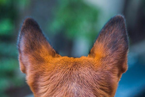 耳のボディランゲージ