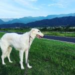 ボルゾイの飼い方,ボルゾイの性格,ボルゾイの特徴
