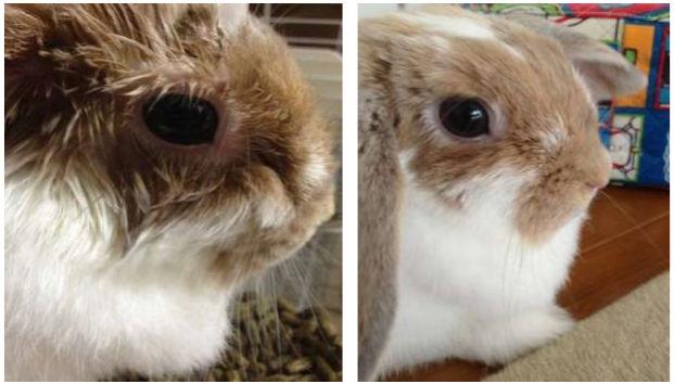 皮膚のかゆみがあったウサギに塗る温泉を使用