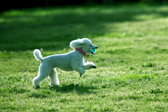 芝生の上を走るトイプードル