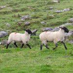 sheepdog-981880_1280