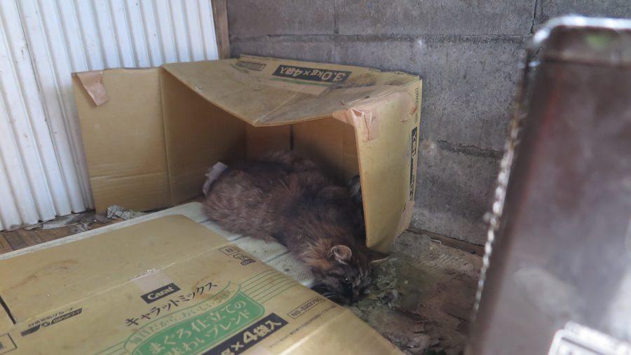 小屋で横たわるお腹が膨れた猫