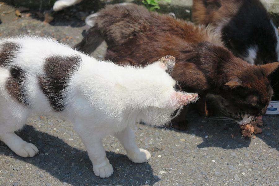 耳の先端がガン化している白猫