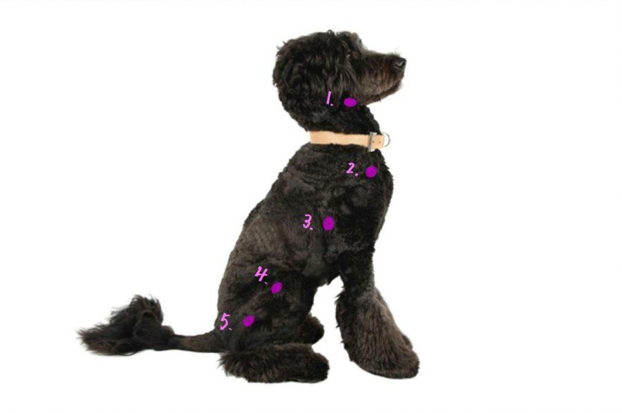 犬の体表リンパ節の図