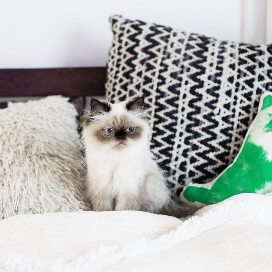 ペルシャ猫・ヒマラヤン