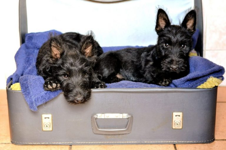 scottish-terriers-1723932_1920