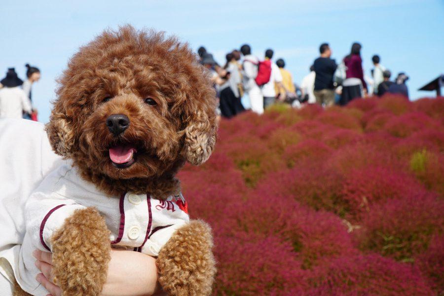 犬と秋に行きたい紅葉が楽しめるお出かけスポットの茨城県のひたち海浜公園