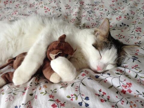 おもちゃを抱いて寝る猫