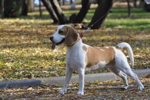 Redwhitebeagle