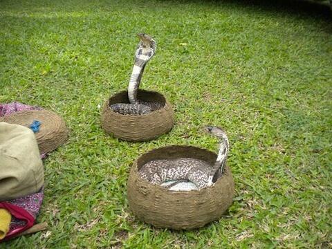 インドコブラ コブラ 蛇 種類 特徴 模様 毒 日本
