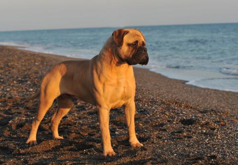 ブルマスティフの特徴、飼い方、寿命、大きさ、性格