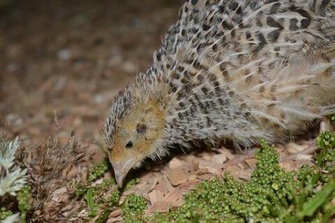 ヒメウズラ 雛 孵化 温度 鳴き声 寿命 飼育 卵