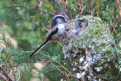 エナガ、かわいい、種類、巣、飼育、シマエナガ