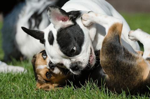 Beagleplaywihtfrechbulldog