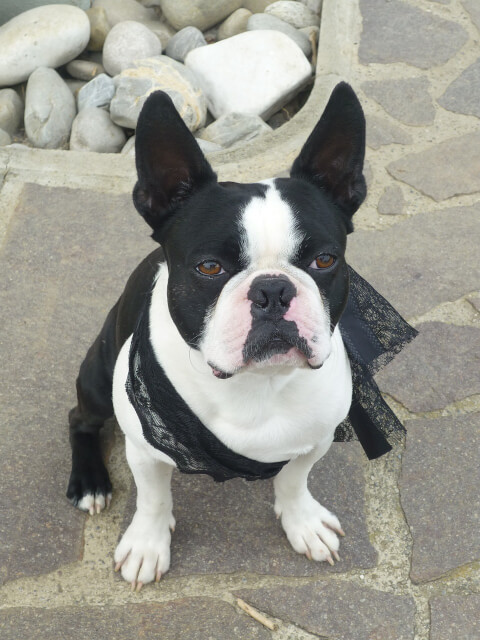 plainbostonterrier