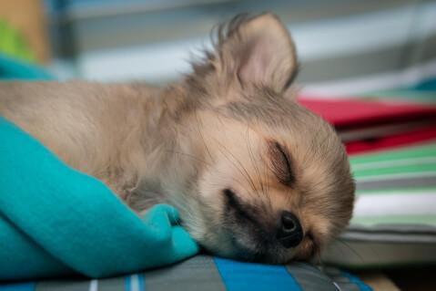 Chihuahua_Disease