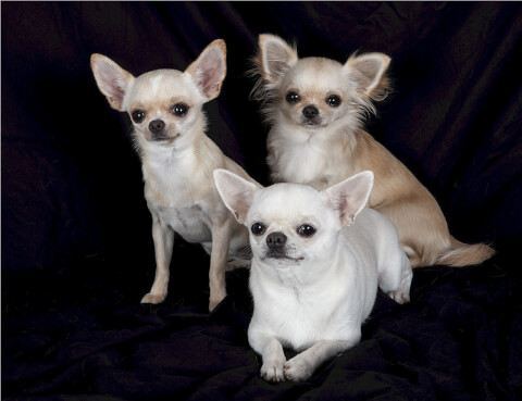 Chihuahua_group