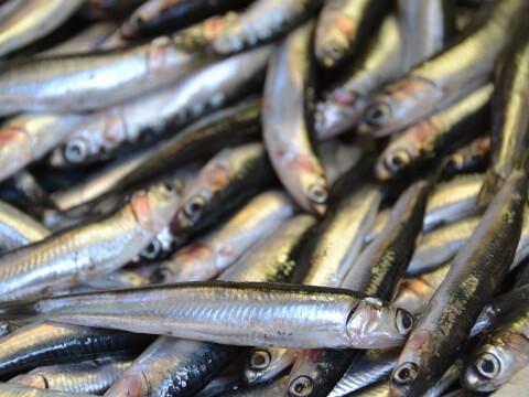 アメリカザリガニ 食用  生態 特徴 飼育 外来種 寿命