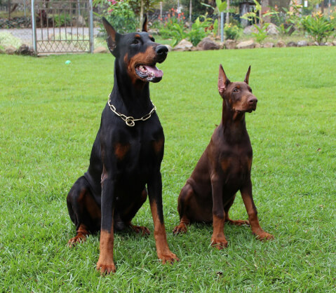 doberman-usa-euro