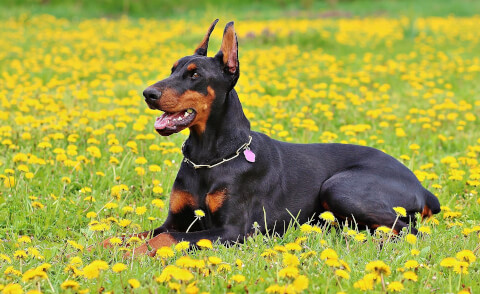 doberman-black
