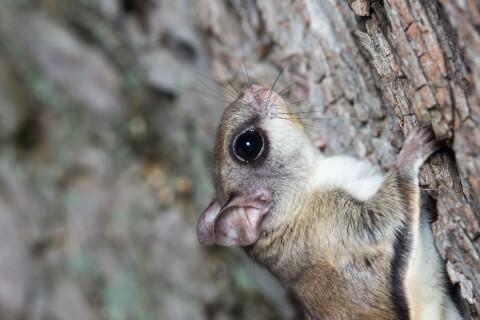 アメリカモモンガの生態、特徴、飼い方、大きさ
