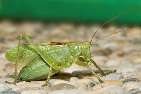 地面の上にいる緑のキリギリス