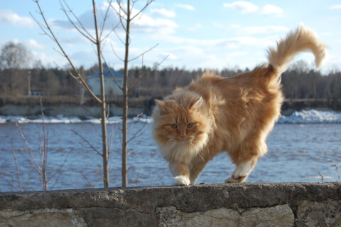 塀の上を歩く茶毛のノルウェージャンフォレストキャット