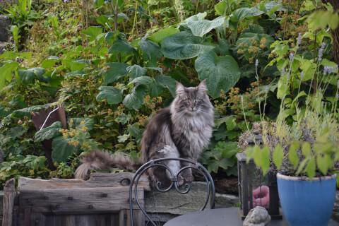 庭の緑の中にいるノルウェージャンフォレストキャット