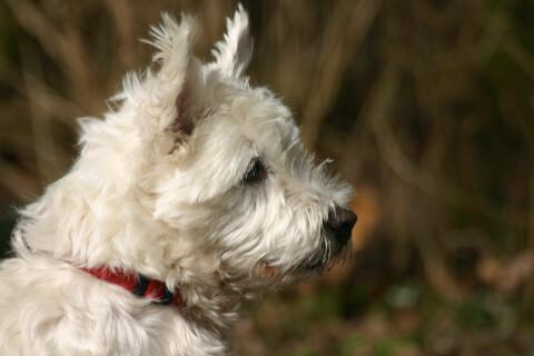 ノーリッチテリアの特徴、飼い方、寿命、値段