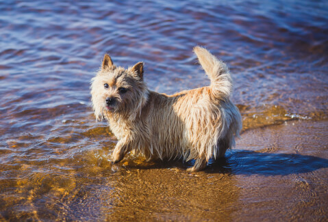 ノーリッチテリアの特徴、飼い方、寿命、値段、運動