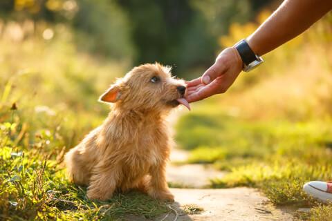 ノーリッチテリアの特徴、飼い方、寿命、値段、子犬