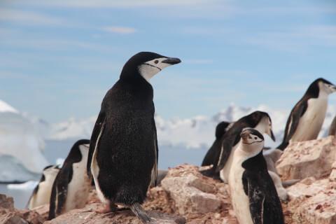 元記事より ヒゲペンギンの群れ