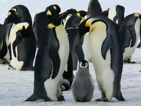 元記事より 雪上のエンペラーペンギン親子