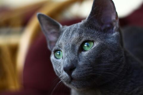 ロシアンブルーの目・グリーン