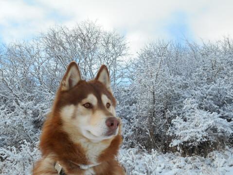 シベリアンハスキー 性格 飼い方 狼 値段 寿命 子犬 種類 色 目
