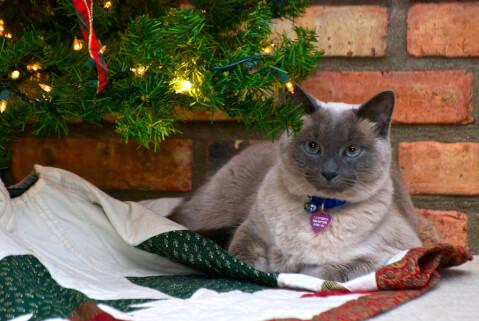 クリスマスのトンキニーズ
