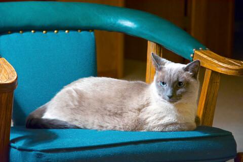 椅子に載るトンキニーズ