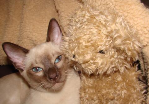 トンキニーズと犬