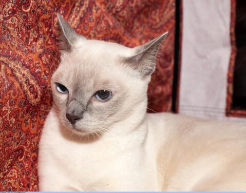ブルーの瞳のトンキニーズ