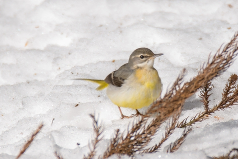about_gray_wagtail