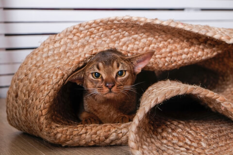 アビシニアン 子猫 鳴き声 猫 ソマリ 寿命 性格