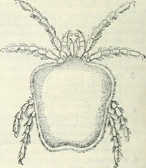acarine