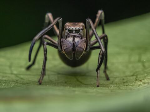 アダンソンハエトリ  アリグモ 益虫 家 特徴 飼い方