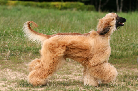 アフガンハウンド 性格 黒 子犬 値段 価格  ゴールド