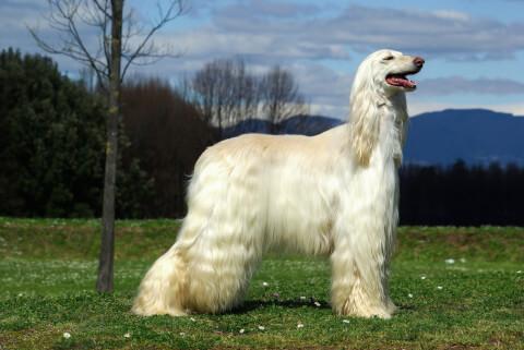 アフガンハウンド 性格 黒 子犬 値段 価格 ホワイト
